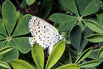 karner blue butterfly female resting on wild lupine, concord, new hampshire