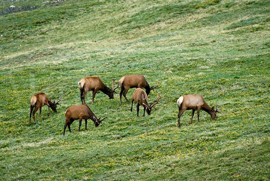 Herd of bull elk grazing. Colorado USA Trail Ridge, Rocky Mountain National Park.