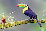 Adult keel-billed toucan (Ramphastos sulphuratus) in forest canopy. Boca Tapada, north east Costa Rica.