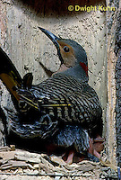 FK12-005z  Common Flicker - female sitting on young to keep warm in nest cavity of dead tree - Colaptes auratus