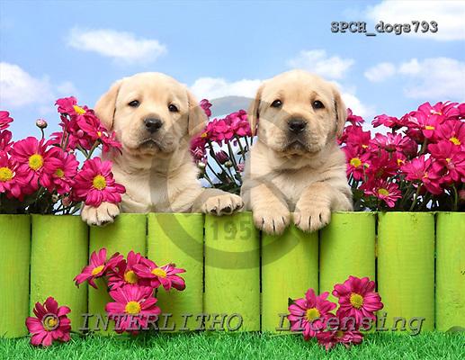 Xavier, ANIMALS, dogs, photos, SPCHdogs793,#A# Hunde, perros