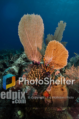 10 July 2013: A grouping of Sea Fans is seen above a Sea Anemone at the Bear's Paw Reef off the North Shore of Grand Cayman Island. Located in the British West Indies in the  Caribbean, the Cayman Islands are renowned for excellent scuba diving, snorkeling, beaches and banking.  Mandatory Credit: Ed Wolfstein Photo