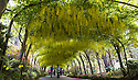 01/06/15<br /> <br /> Blooming two weeks later than normal, but just in time to mark the start of 'flaming June', the Laburnum arch at Bodnant Gardens has finally bust into flower.<br /> <br /> The world famous walk-through archway near Conwy in North Wales, is visited by over 50,000 people during the month when it is flower.<br /> <br /> The arch was one of the first things to be planted by Henry Pochin, the garden's creator in 1882 - although he died before ever seeing it flower.<br /> <br /> It is 55 metres long, made up of 48 plants and takes two gardeners up to a month, in January at the coldest time of year, to prune the arch.<br /> <br /> Holding everything together are approximately 6,000 reef knots, all tied in one direction.<br /> <br /> All parts of laburnum are poisonous. Symptoms of laburnum poisoning include sleepiness, vomiting, convulsions, and frothing at the mouth.<br /> <br /> However, moths use it as a food and bees absolutely adore laburnum.<br /> <br /> <br /> All Rights Reserved: F Stop Press Ltd. +44(0)1335 418629   www.fstoppress.com.