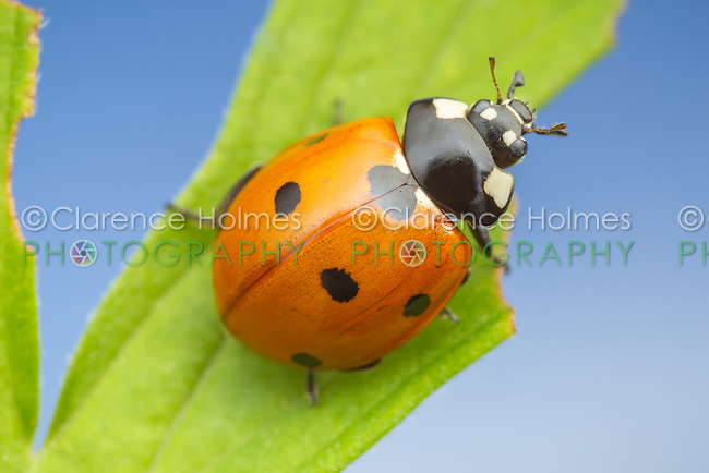 Seven-spotted Lady Beetle (Coccinella septempunctata)