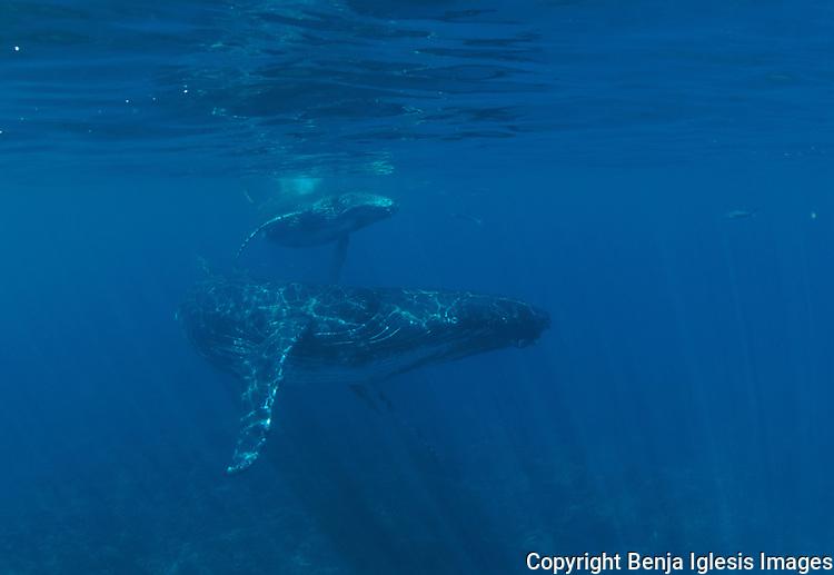 Humpbach whale with her calf,Lanai,Maui,Hawaii