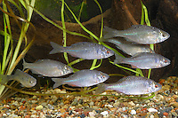 Bitterling, Schwarm, Rhodeus amarus, Rhodeus sericeus amarus, European Bitterling