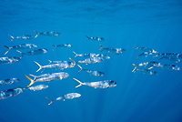 mahi-mahi, or common dolphinfish, Coryphaena hippurus, schooling, Thetis Bank, Baja California Sur, Mexico, Pacific Ocean