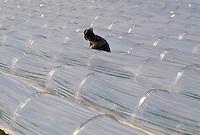 - Andalusia, cultivation of vegetable under plastic greenhouses ....- Andalusia, coltivazione di ortaggi sotto serre di plastica