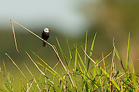 This little bird (approximately 5 inches of 13 cm tall) is fairly common in Brazil.  This is the male White-headed Marsh Tyrant (Arundinicola leucocephala).  The Pantanal, Brazil.