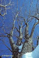 TT12-008z  Red Maple - winter - Acer rubrum