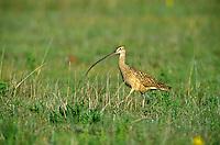 Long-billed Curlew, Numenius americanus, on prairie at Rita Blanca National Grassland, north of Dalhart, Texas, AGPix_0075.