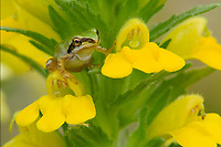 Very young and very small Pacific Tree Frog (Pseudacris regilla) sitting on wildflower, Pacific Northwest.  Summer.