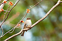 An eastern Phoebe keeps watch over his spring territory from a budding maple tree branch.
