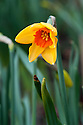 Daffodil (Narcissus 'Ambergate'), early April.