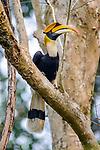 Male great Indian hornbill (Buceros bicornis) in forest canopy. Kaziranga National Park, Assam, India.