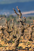Domaine Jean Baptiste Senat. In Trausse. Minervois. Languedoc. Vines trained in Gobelet pruning. Carignan grape vine variety. Vineyard in winter. France. Europe. Vineyard.