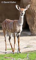0529-1104  Lesser Kudu, Tragelaphus imberbis  © David Kuhn/Dwight Kuhn Photography