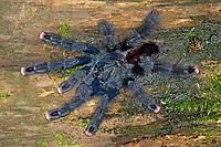 Rotfußvogelspinne, Rotfuß-Vogelspinne, Avicularia metallica, whitetoe tarantula, Vogelspinne, Vogelspinnen, Theraphosidae, Aviculariidae, Tarantulas