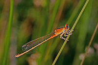 Kleine Pechlibelle, Weibchen, Ischnura pumilio, Small Bluetail, scarce blue-tailed damselfly, female, Agrion nain, Ischnure naine