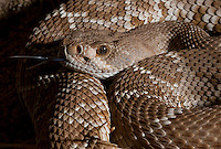 Red Diamond Rattlesnake.Crotalus ruber.Similar to Western Diamondback, but prettier and less ought-tempered. It took me forever to find one, now they seem to be everywhere.