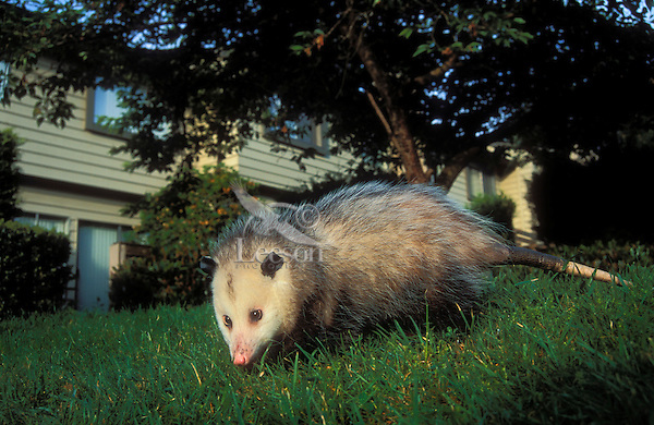 VIRGINIA OPOSSUM - male looking for garbage near homes..Pacific Northwest, North America..Summer. (Didelphis virginiana)..