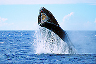 humpback whale breaching, .Megaptera novaeangliae, .note barnacles under chin, .Hawaii (Pacific).