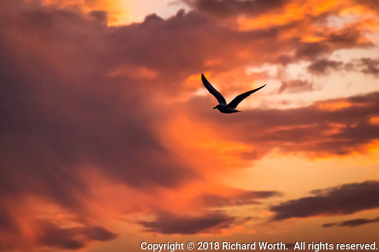 A gull flies into the coming night.  Sunset along San Francisco Bay.
