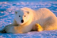 polar bear, Ursus maritimus, resting on the pack ice, 1002 coastal plain of the Arctic National Wildlife Refuge, Alaska, polar bear, Ursus maritimus