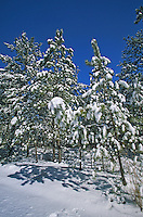 Snow covered Pine Trees, Pine Barrens, Wharton State Forest, New Jersey