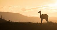 An elk soaks in the sunrise on Swan Lake Flat.