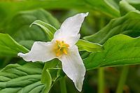 Pacific Trillium or Western White Trillium (Trillium ovatum)--common early spring wildflower of Pacific Northwest lowland forests.
