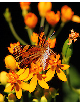 Phaon crescent on butterfly weed
