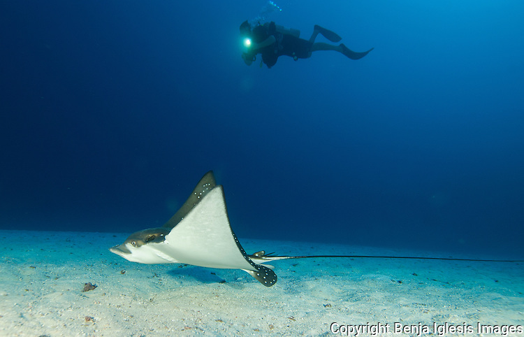 A diver follows an spotted eagle ray on the sand channel at Molokini maui Hawaii.