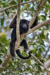 Male black howler monkey (Alouatta caraya) resting in riverine forest canopy. Tributary of Cuiaba River, Mato Grosso, Pantanal, Brazil. September.