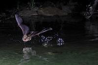 Bat drinking water