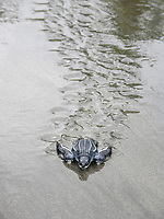 leatherback sea turtle hatchling, Dermochelys coriacea, runs to sea, Dominica, West Indies, Caribbean, Atlantic