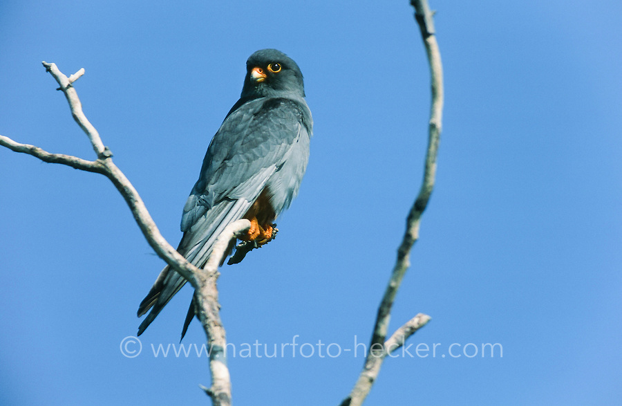 Rotfußfalke, Männchen, Falken, Falke, Falco vespertinus, red-footed falcon, western red-footed falcon, male, Le Faucon kobez