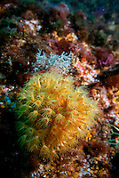Yellow Encrusting Anemone (Parazoanthus axinellae) growing on a rock, Caramasaigne, Riou Island, Marseille, France.