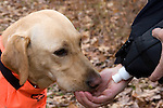 Yellow Labrador retriever (AKC) drinking water from owner's hand.  Fall.  Winter, WI.