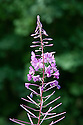Rosebay willowherb (Chamerion angustifolium syn. Epilobium angustifolium), late August. Also known as fireweed, mainly in North America.