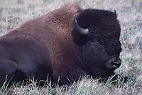 Buffalo aka American Bison (Bison bison) resting in Paddock, Waterton Lakes National Park, Canadian Rockies, Alberta, Canada