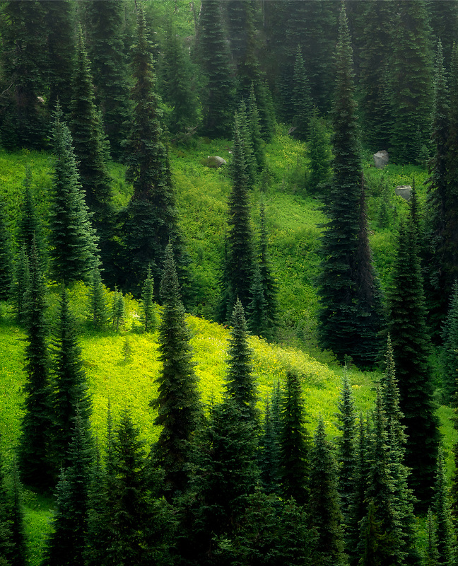 Subalpine Fir trees. Mt Rainier National Park, WA