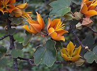 x Chiranthomontodendron lenzii (aka  Chiranthofremontia); hybrid Monkey Hand tree, inter- generic hybrid between Chiranthodendron and Fremontodendron 'Pacific Sunset'; yellow flowering shrub at Rancho Santa Ana Botanic Garden