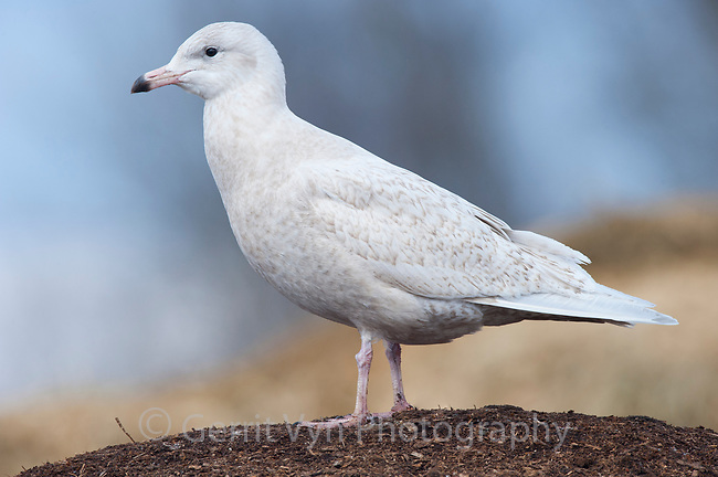 Immature, 1st winter Glaucous Gull (Larus hyperboreus). Tompkins County, New York. January.