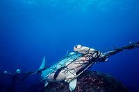 scalloped hammerhead shark, Sphyrna lewini, caught in shark net illegally set in Galapagos Marine Reserve, Wolf (Wenman) Island, Galapagos Islands, Ecuador, East Pacific Ocean