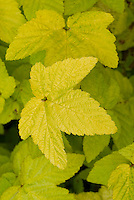 Filipendula ulmaria 'Aurea'  Meadowsweet yellow leaves