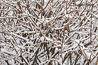 1J04-510z  Black-capped Chickadee, camouflaged on snow covered branches,  Poecile atricapillus or Parus atricapillus