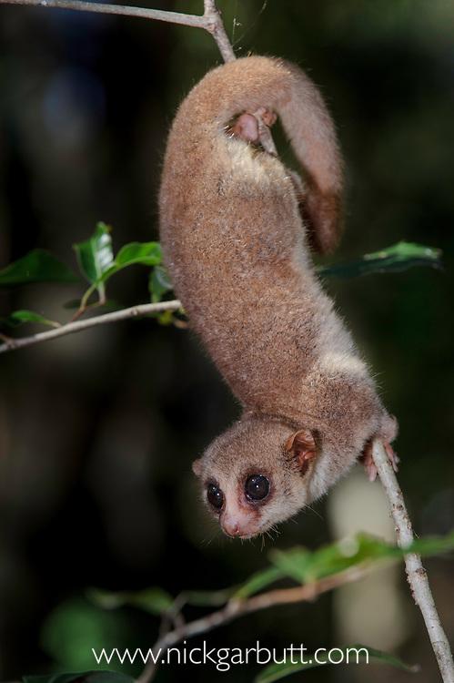 Fat-tailed dwarf lemur (Cheirogaleus medius). Kirindy forests, west Madagascar.