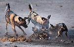 Wild dogs, Chobe National Park, Botswana