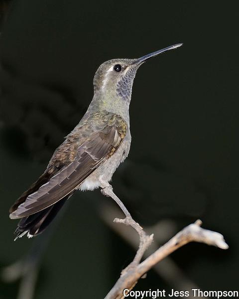 Blue-throated Hummingbird, Southeastern Arizona